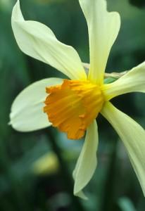 Narcissus 'Incomparabilis' Yellow flower with large orange coronadaffodil