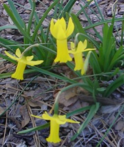 Blooming in NC March 1