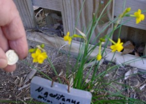 Blooming in NC on March 1