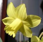 narcissus-inca5.jpg
