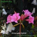 Amarygia-A