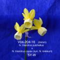 V04-204-16   (34mm) N. triandrus pulchellus x N. triandrus capax (syn. N. loisleurii)                  5Y-W