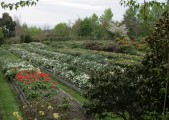 Some of the bulb beds at the garden of Les and Margaret Cleveland on tour at the 2012 World Daffodil Convention, Dunedin NZ