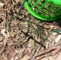 jonquil leaves under basket  060613