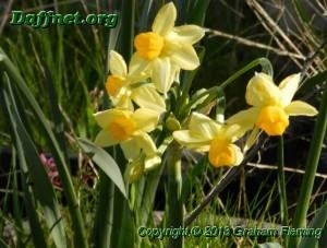 Tazetta seedling