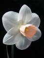 Champion  Bloom  --    CAPE  POINT