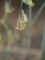 N. viridiflorus