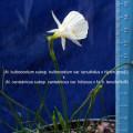 Early, small Bulbocodium Hybrid
