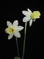 'Viennese Waltz' x N. fernandesii. Two different seedlings one with flat perianth and the other partially reflexed.