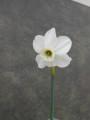 Ashmore x (Easter Moon x viridiflorus)