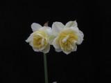 'Blossom' x N. dubius 4W-W/Y