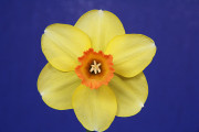 """The Gold Ribbon Winner """"Terminator"""" taken from a 5 stem division 2 collection winner. Exhibited by Lynn Ladd."""