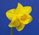 """Georgia Daffodil Society """"Horticulture Excellence"""" ribbon. Little Tyke. Exhibited by Bonnie Campbell."""
