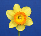 """Narcissus """"Loveday"""" included in the Purple Ribbon."""
