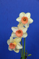 The Standard White Ribbon for the best 3 stem entry of standard Daffodils in show.