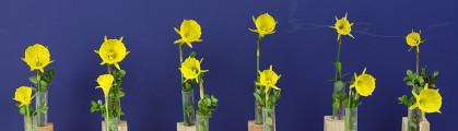 12 Miniatures by Hybridizer Ribbon