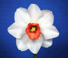 """We called this 8th wonder because of the 8 petals. It's """"Red Envy"""" and 2 bulbs did this for Frank this year."""