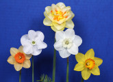 The Classic 5 stem Ribbon was awarded to this collection exhibited by Mike & Lisa Kuduk with the flowers of: Ambergate, Dallas, Tahiti, Noweta (?), and Ceylon