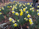 a mass planting of Daffodil Goblet at Wildwood Botanical Gardens.