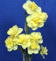 The Historic 3 Stem Ribbon winner was Yellow Cheerfulness, exhibited by Mike & Lisa Kuduk.