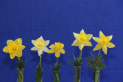The Mini Red White & Blue ribbon for the best 5 stem mini daffs bred in American was exhibited by Mary Lou Gripshover with mostly her seedlings except the last 2 on the right, Heidi's Sister, and Oakwood Sprite.