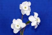 The Mini White Ribbon winner was Xit, exhibited by Kathleen Simpson.