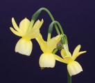 Miniature Rose Ribbon winner; V04-204-16 5Y-W exhibited by Steve Vinisky