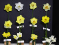 Oregon Daffodil Society Challenge Class for 12 winner; Exhibited by Elise Havens
