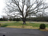 The Giant Oak Tree in front of the main house at P Allen Smiths Farm.
