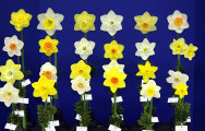 The Kuduks also exhibited the winning Quinn entry of 24 stems from at least 5 divisions. The flowers were: Crakington, Bravoure, Altun Ha, Lone Star, Oregon Pioneer, Conquest, Lara, Sportsman, Denali, Fly Half, River Queen, Highfield Beauty, Goffs Cae, Conestoga, Banker, Pops Legacy, St Keverne, Actaea, High Society, Impeccable, Rim Ride, Javelin, Dayton Lake & Sweetness.