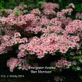 Evergreen Azalea 'Ben Morrison'