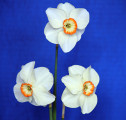 a very nice 3 stem of Requiem, registered by Helen Link.
