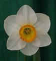 Best Intermediate White Perianth Tayforth Charm Exhibited by Wayne Hughes