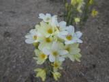 N. miniatus x N. cavanillessii. All one clone
