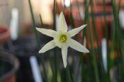 Narcissus romieuxii x Emerald Sea