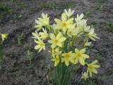 Narcissus x perezlarae