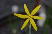 Narcissus x xanthochlorus
