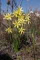 Picture published as narcissus x xanthochlorus