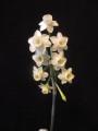 """2008-049-1 """"Yellow Dubius?"""" x N. dubius"""