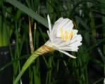 N. cantabricus, img , v