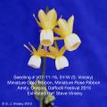 Mini Gold & Mini Rose - Amity, Oregon Daffodil Festival 2015