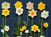 Oregon Challenge 12 stems hybridized by exhibitor. Exhibited by : Steve Vinisky