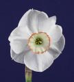Best Intermediate Bloom, Dreamlight 3W-GWR exhibited by Kirby Fong