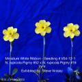 Miniature White Ribbon Seedling # V04-12-1. Exhibited By: Steve Vinisky