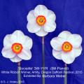 Best Vase of Three - Amity, Oregon, Daffodil Festival. 'Socialite' 3W-YYR