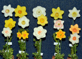 Throckmorton Ribbon 15 stems with different RHS color coding/classification. Exhibited by