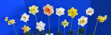 The special Challenge of 12 stems American Bred Daffodils. This winner, exhibited by Becky Fox Matthews
