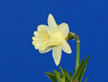 Mini Daffodil - Hail Merry. Not yet in Daffseek. Exhibited by Naomi Liggett.