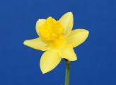 Mini Daffodil - Piccalo Pete, exhibited by Naomi Liggett.