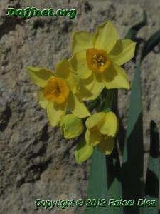 Narcissus tazetta subsp. aureus